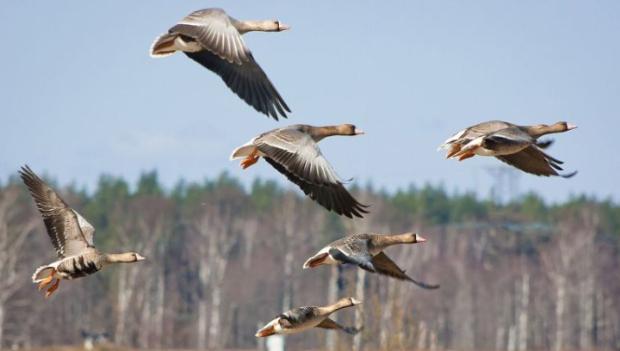В Ленобласти Охотнадзор смог запечатлеть осенний пролет гусей